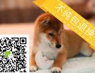 cku注册认证五星级犬舍 出售双血统柴犬
