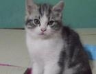 美国短毛猫加白银虎斑红虎斑棕虎斑补丁色,DDMM都