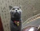 家庭繁殖纯种宠物猫出售