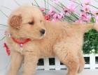 天津枫叶系**大头金毛幼犬 疫苗齐全 当时化验签署协议
