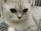 自家繁殖英国短猫毛