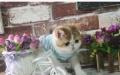 宠物加菲猫纯种幼猫加菲猫宠物猫活体加菲猫家养包健康