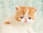 西安 亚瑟猫舍 红色虎斑梵色异短 男孩