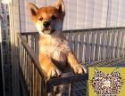 何处出售柴犬 纯种柴犬多少钱