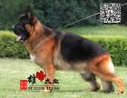 关注雄峰犬业 专业繁育锤系德牧2-10个月幼犬