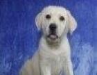 出售神犬小七拉布拉多宠物犬狗狗幼犬选择专业选择
