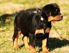 纯种的罗威纳多少钱 宠物店的狗靠谱吗
