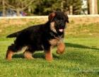哪里有卖德牧德国牧羊犬多少钱德牧图片德牧幼犬