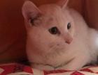 狸猫混英短,纯白,母,鸳鸯眼,价格面议