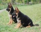 德国牧羊犬专业繁殖 基地直销 可实地挑选 品质保证