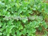 紫金四季草莓苗多少钱一棵 紫金四季草莓苗品种介绍