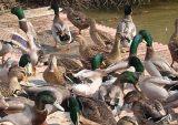 李中水上森林原生态翡翠鸭