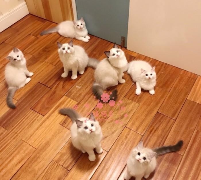 韶关哪里有正规猫舍 韶关出售布偶猫 纯种布偶猫价格