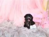 银川哪里能买到纯种茶杯犬袖珍茶杯犬出售犬舍出售茶杯犬茶杯犬