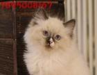 殖纯种蓝猫 银渐层 折耳 蓝白英短幼猫