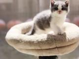 厦门哪里有英短猫卖 专业繁殖 公母均有 包纯种包健康