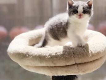 成都哪里有英短猫卖 专业繁殖 公母均有 包纯种包健康