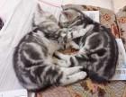 出售萌萌美短虎斑小奶猫