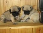 纯种巴哥幼犬宝宝出售 品质可靠 疫苗齐全