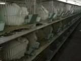资阳市哪里有卖长毛兔的吗 安哥拉长毛兔价格
