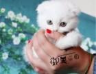英短银渐层幼猫英国短毛猫纯种折耳银渐层幼猫活体宠物猫活体