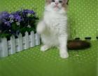哪里出售纯种布偶猫纯种布偶猫多少钱