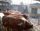 肉牛养殖牛苗价格利木赞牛黄牛犊怎样养殖肉牛长得更好