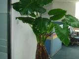 重庆轩屺花木植物租赁,销售,开业花篮,鲜花速递