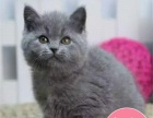 英国短蓝猫宠物家养纯种活体江浙沪可上门全国服务