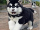拒绝欺骗 厦门家养阿拉斯加犬没时间养 求好人带回家哦