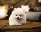 深圳本地长期出售纯种博美幼犬 上门当面挑选 死亡包退换