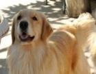 出售泰迪,比熊,金毛,拉布拉多,阿拉斯加,等各种狗狗