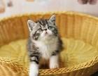 售纯种健康英短蓝猫 加菲猫疫苗做齐保证包签订协议书