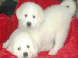 大型犬有些品种 大白熊是大型犬