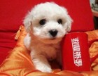 重庆出售纯种活泼的小白色迷你比熊犬长不大宠物狗狗雪白迷你型