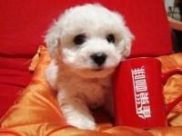 广州出售纯种比熊活体宠物狗白色比熊幼犬长不大小
