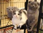 纯种英短,猫舍繁殖,健康纯种,品质保障