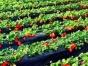 台上草莓园 春季踏青