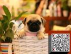 八哥幼犬出售 纯种家养巴哥质量保证 欢迎上门挑选