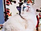 【 御宠阁 】纯种猫的天堂~终身常规医疗免费的地方