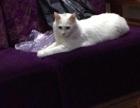 中华田园长毛猫,白色头戴八字