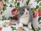 加菲喵,美短,蓝猫