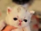 带CFA证加肥猫出售,本地可上门看猫