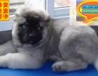 哪里有高加索犬出售 高加索犬多少钱一只 在哪里