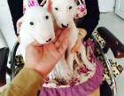 牛头梗犬 常年销售 包细小犬瘟冠状 包防疫包纯种
