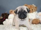 高品質巴哥犬寶寶熱銷中喜歡 可簽署協議
