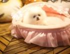 上门700一只 博美幼犬 包健康 包纯种 有多条狗狗挑选