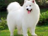 微笑天使萨摩耶宠物狗