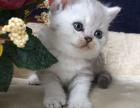 豆腐家 精品猫猫,喜欢的赶紧联系