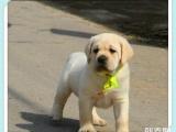 武汉高品质 拉布拉多幼犬出售了 保健康 可签协议